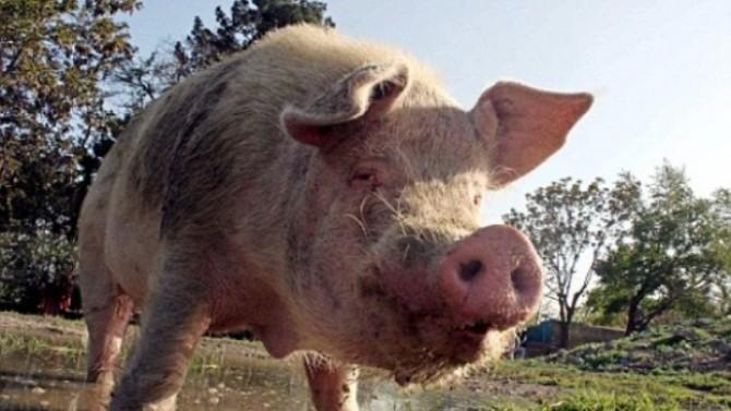 cum poate porcul meu să piardă în greutate alabama pierdere în greutate brewton