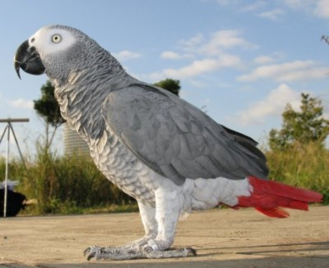 africangrayparrot_a_1