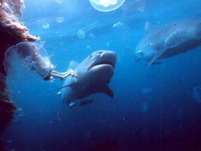 blue-world-documentary-underwater-aquatic-sharks-shark-jellyfish-8690153