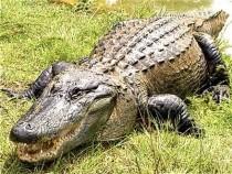 Aligator - Foto cu caracter ilustrativ