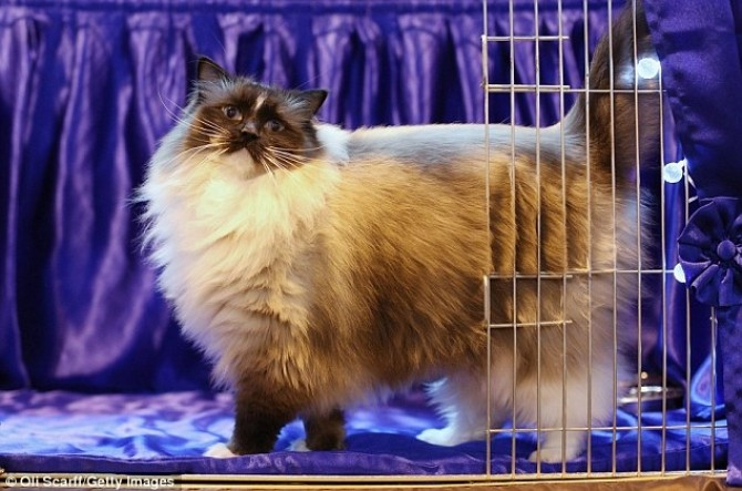 Pisică 1