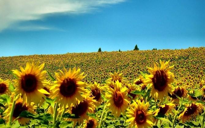 vara-floarea-soarelui