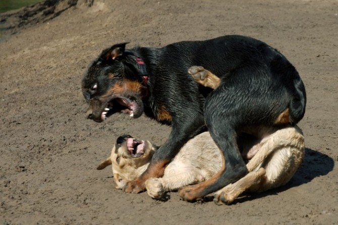 Câine de luptă
