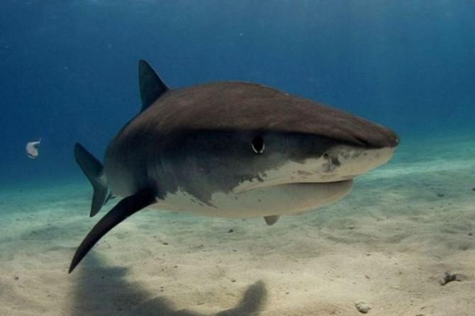 rechin-tigru