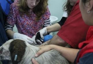 caine-mutilat-operatie (1)