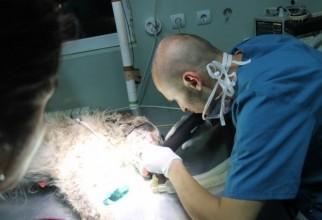caine-mutilat-operatie (30)