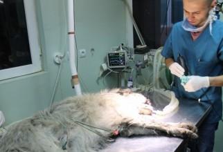 caine-mutilat-operatie (31)