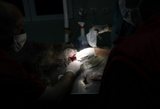 caine-mutilat-operatie (49)