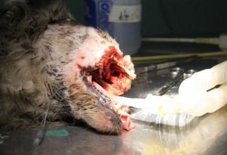 caine-mutilat-operatie (54)