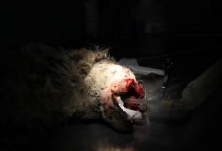 caine-mutilat-operatie (61)