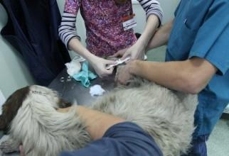 caine-mutilat-operatie (8)