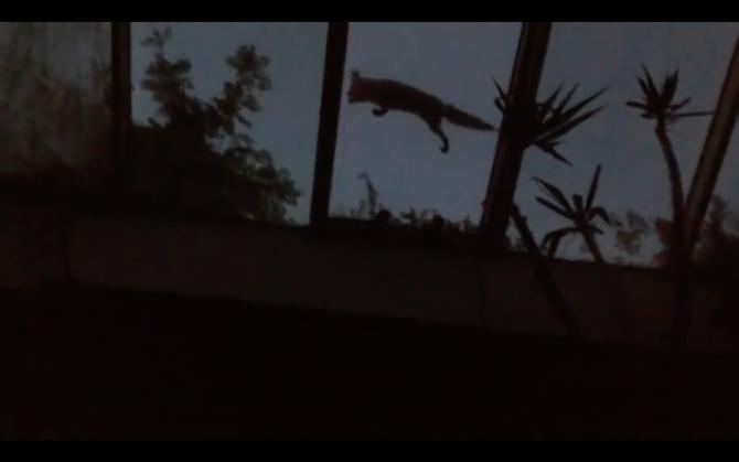 Vulpe pe acoperișul casei