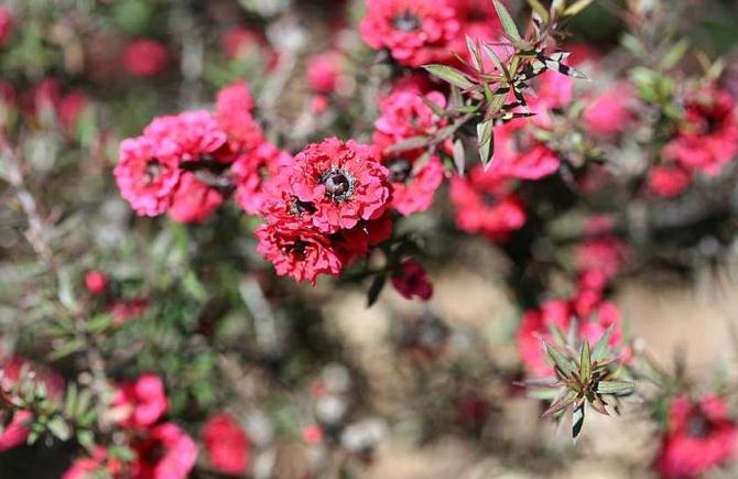 Floare de Manuka din care se face mierea de manuka