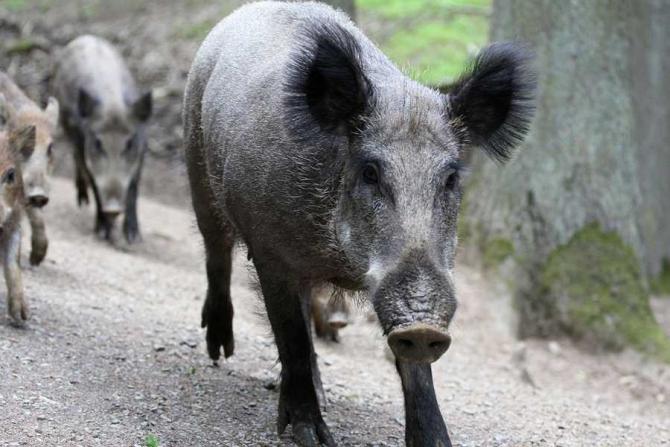 Pesta porcina, confirmata în Buzău