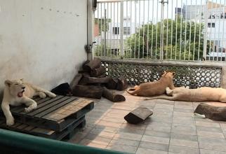 Cu leii pe terasa casei. Un mexican refuză să-i predea. foto: captura video BBC