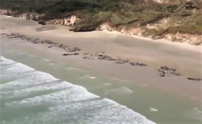 Peste 100 de balene pilot, moarte la țărm în Noua Zeelandă
