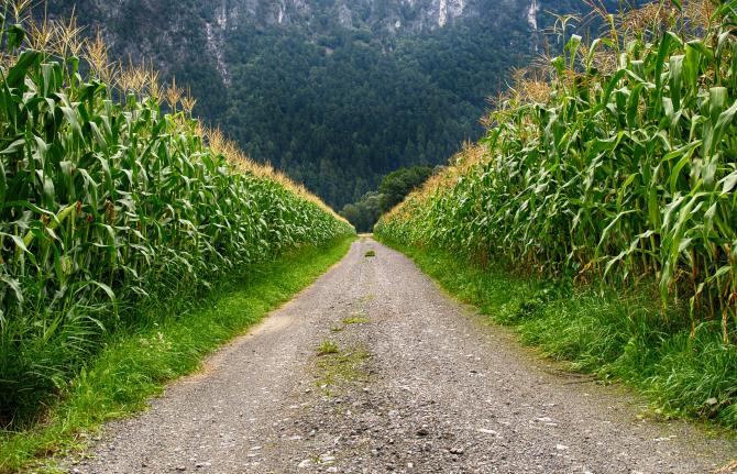 Porumbul modificat genetic, solutie in lupta cu schimbarile climatice