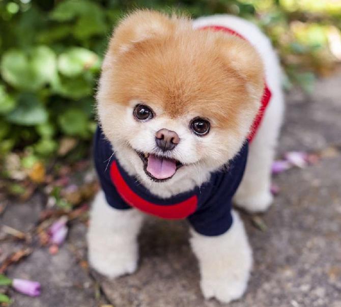 A murit BOO - cel mai drăguț câine din lume