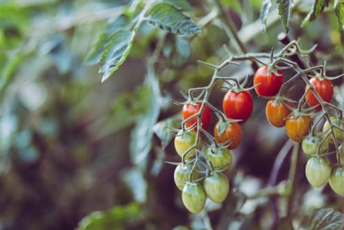 Cercetătorii au descoperit genele care fac roșiile să țină mult și să aibă gust bun