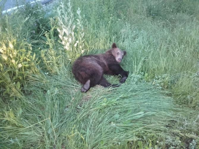 Urs rănit pe DN1. FOTO: Asociația Milioane de Prieteni