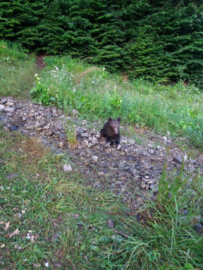 Pui de urs epuizat, dat dispărut. FOTO: Asociația Milioane de Prieteni