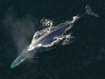 Balenă albastră. Foto cu caracter ilustrativ. Sursa: pixabay.com