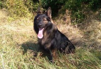 Câine polițist. Foto: IPJ Neamț