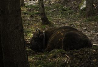 Fundația Conservation Carpathia, ZIMBRI în Făgăraș. foto: Daniel Mirlea