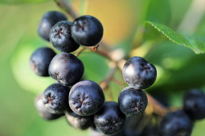 """Ce este Aronia """"Fructul cosmonauților"""" și care sunt beneficiile acestuia"""