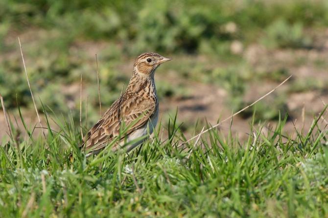 Cicarlia - foto: Societatea Ornitologica Romana @SOR.BirdLifeRomania - FB