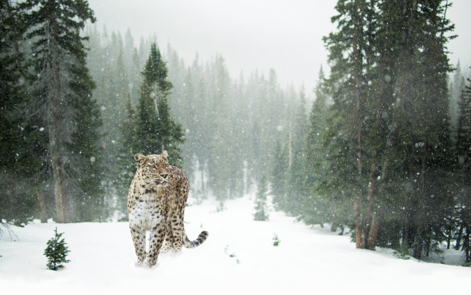 Leopard de zăpadă - sursa: pixabay