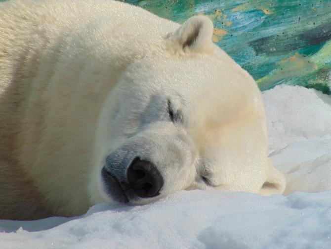 urs polar - sursa: pixabay