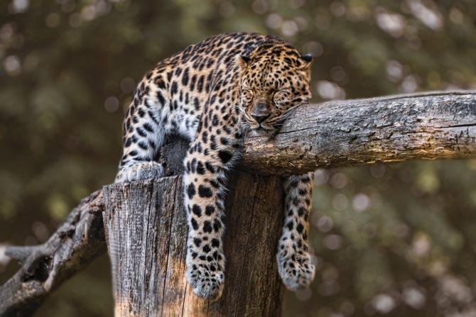 Jaguar - sursa: pixabay