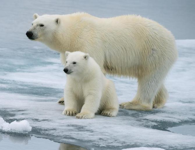 Ursul polar, pe care de dispariție