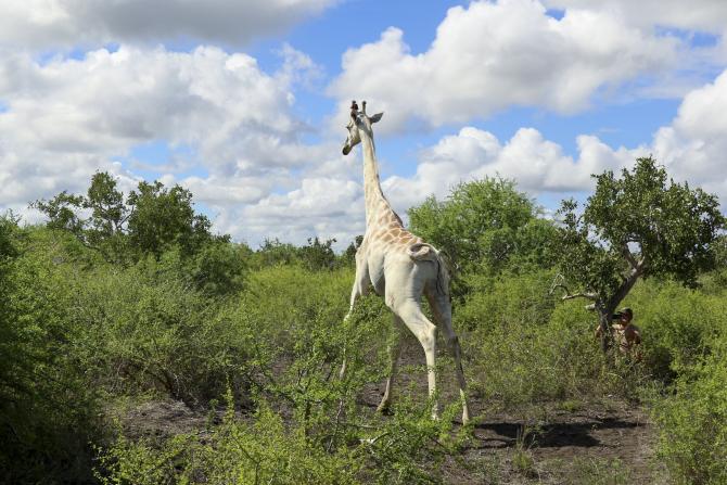 Girafa alba. Sursa foto: phys.org