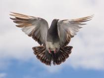 Porumbelul călător se întoarce întotdeauna acasă