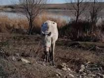 Cai maltratați la Techirghiol  Captură Video Puya © Scandalos Music