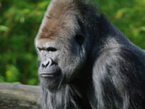 numarul gorilelor infectate cu covid19 a crescut