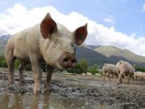 Român mort în Olanda. A ajuns mâncare pentru porci