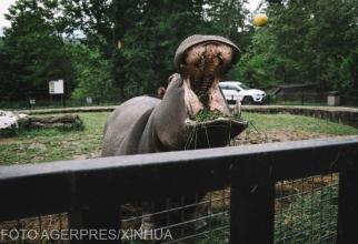 Hipopotamii lui Pablo Escobar s-au înmulțit de 20 de ori până în prezent