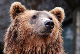 Soluții pentru a nu mai da nas în nas cu urșii pe pârtie cum s-a întâmplat la Clăbucet în Predeal / Foto Pexels