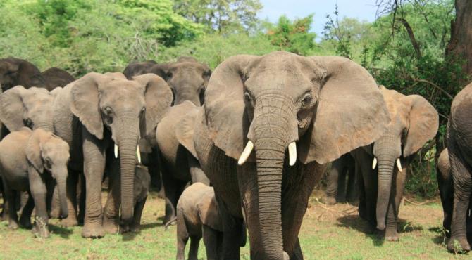 Elefanții, numărați de computere cu ajutorul sateliților