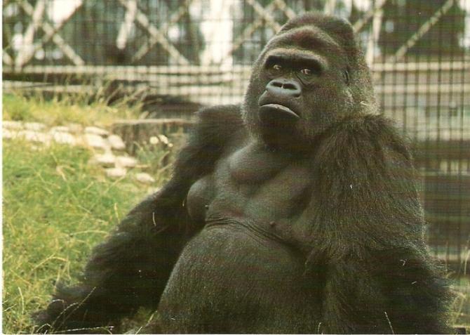 Gorila Winston s-a vindecat de Covd-19 după ce a fost tratată cu anticorpi de sinteză - Fotografie ilustrativă