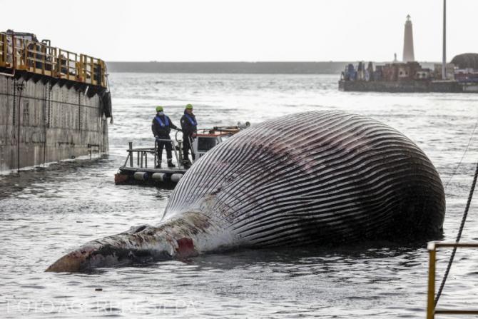 O balenă de 70 de tone a fost găsită în apele Coastei Italiei,