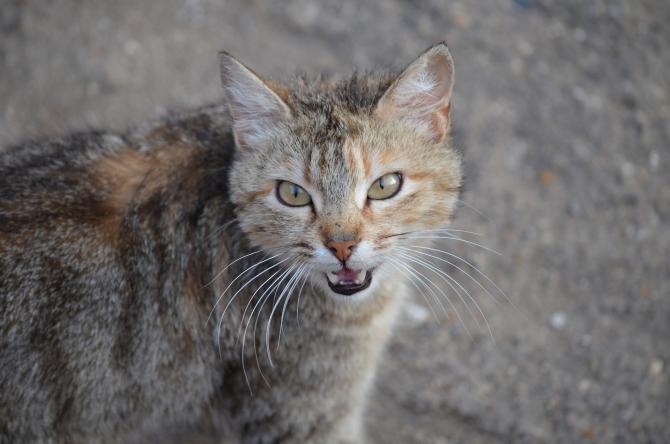 Pisica sălbatică, CAMUFLAJ perfect în pădurile României. O poți vedea? / Sursă foto: Pixbay
