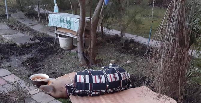 Un porc a sărit dintr-o remorcă. Foto: Facebook.