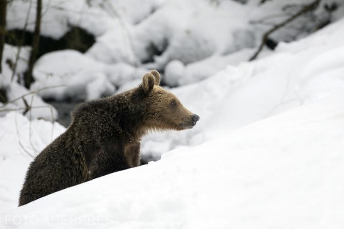 Un urs aa făcut senzație în Parcul Național Retezat.