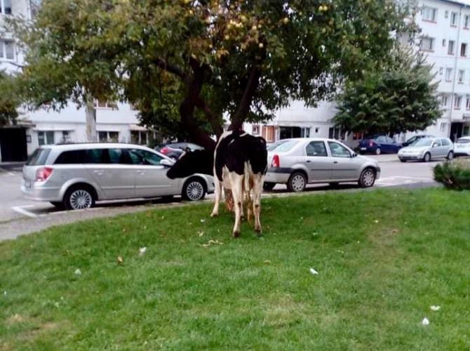 Vacă la păscut, în Câmpulung. Sursa: Ziarulargesul.ro