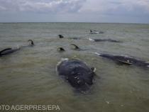 Mamiferele ajung foarte des în dificultate pe această plajă