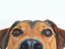 Câinii antrenați să depisteze persoane cu COVID-19 vor fi trimiși pe Aeroportul Sibiu / Foto Pexels
